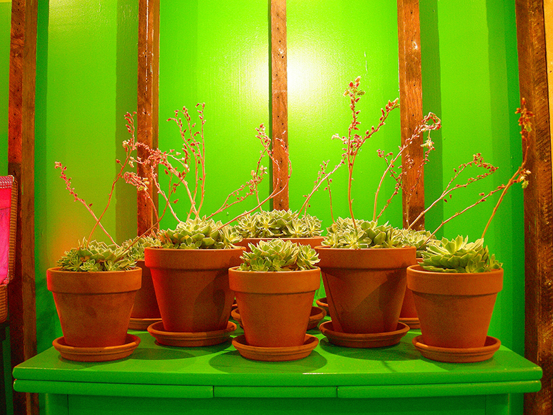Blooming jade plants image from SET THE CONTROLS FOR THE HEART OF THE SUN, installation at WRKS DVSN, by Kennedy Telford, 2006.